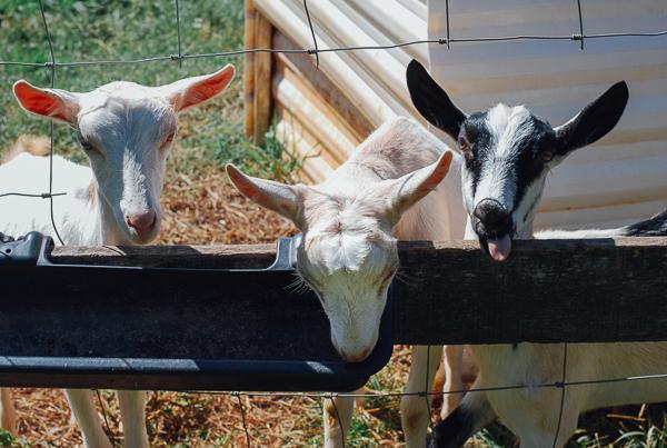 caromont farm, meet yer eats farm tour // brooklyn supper