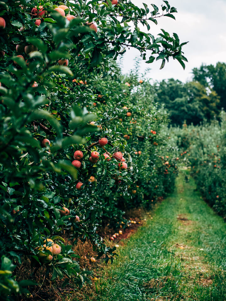 visiting the saunders brothers' orchard // brooklyn supper